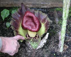 amorphophallus-paeon-hand-2