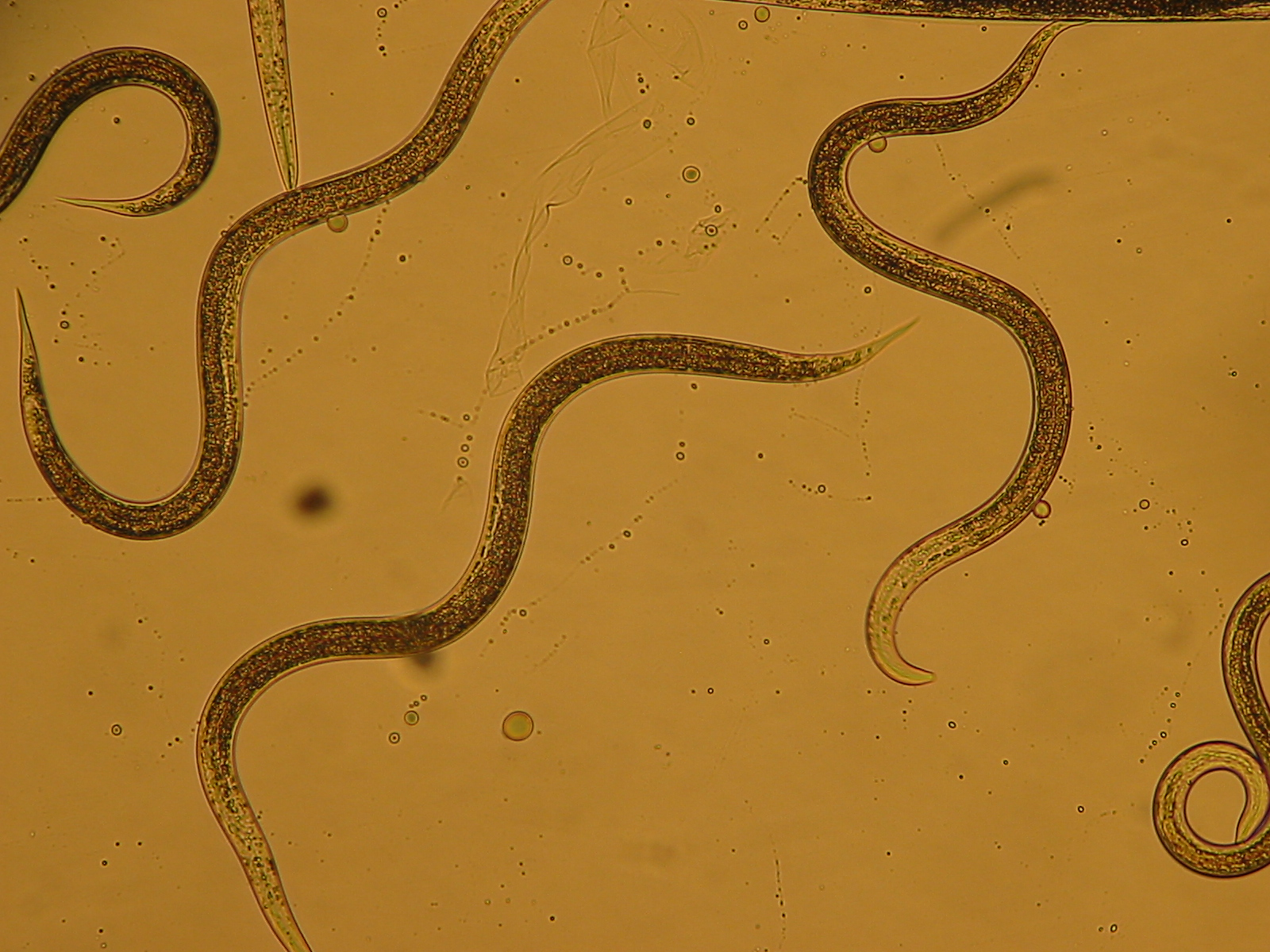 An essay on plant pathogenic nematodes