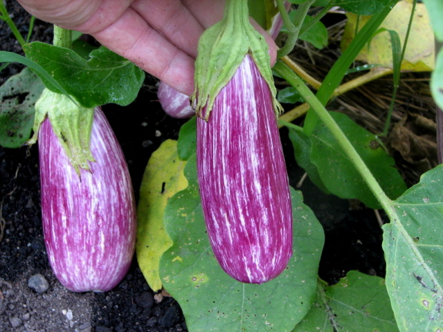 how to grow eggplant in australia
