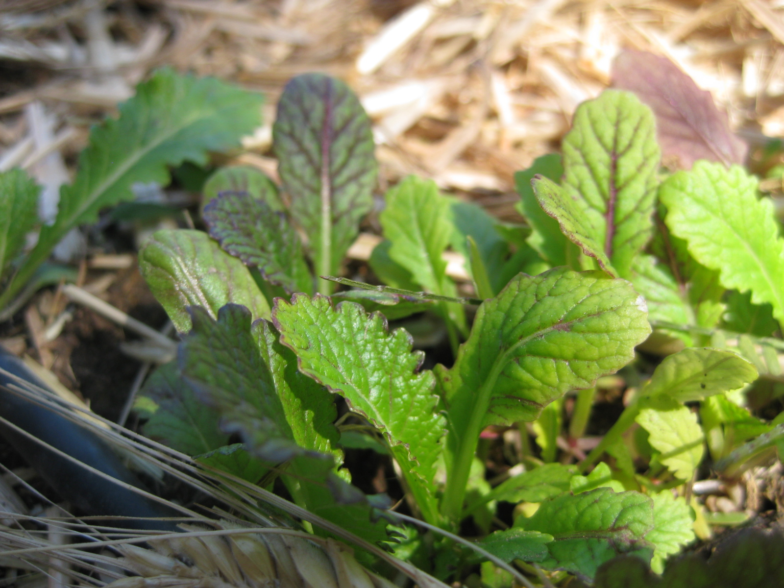 Image result for Mustard leaves on wooden table