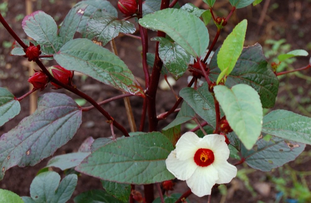 Eat A Hibiscus: Rosell...