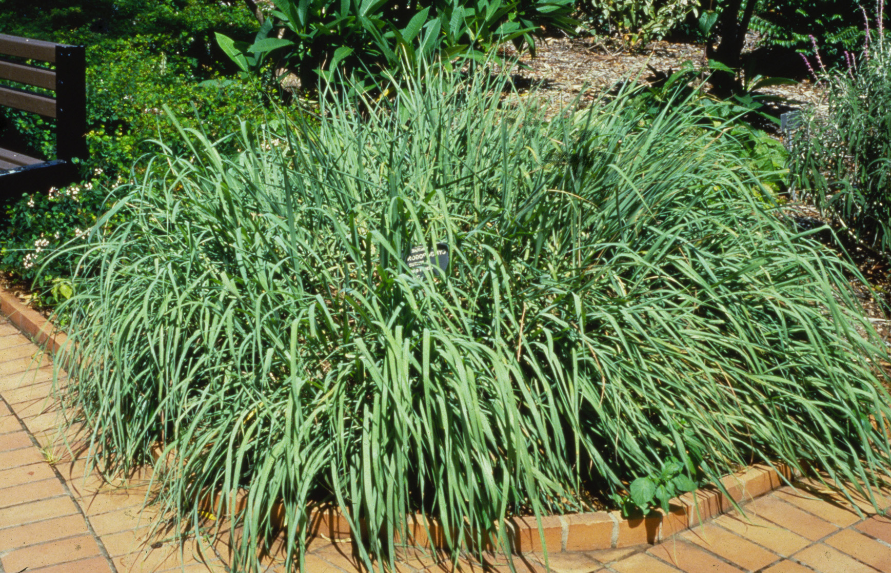 Lemon grass Herbal Medicine