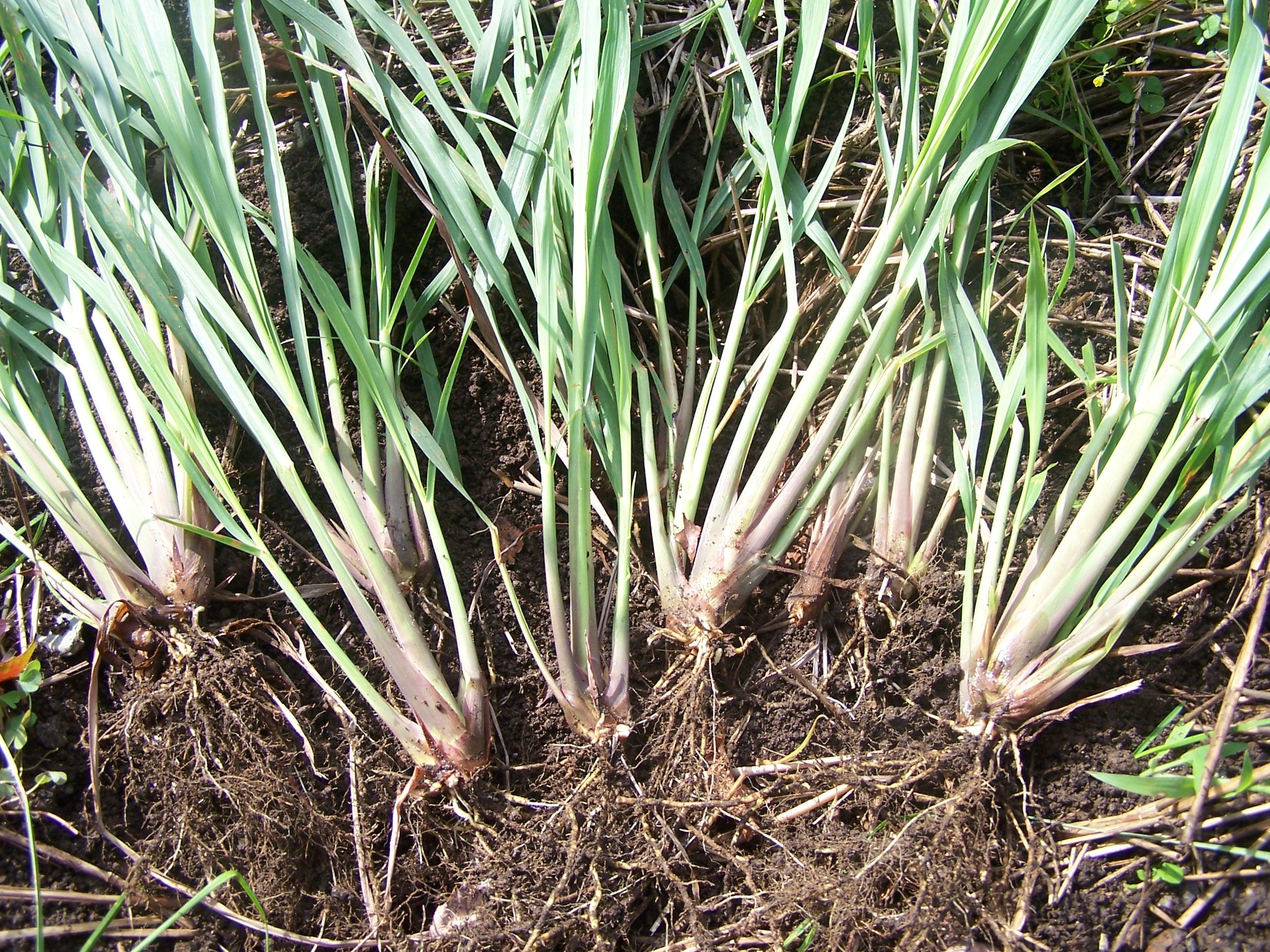 The Grass With Zest Lemongrass The Arid Land
