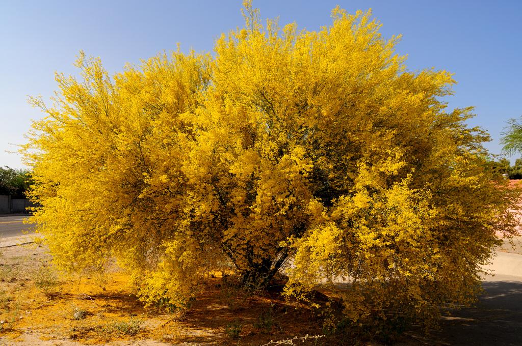 native plant landscaping the palo verdes the arid land