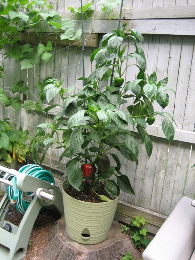 how to grow sweet peppers in saskatchewan