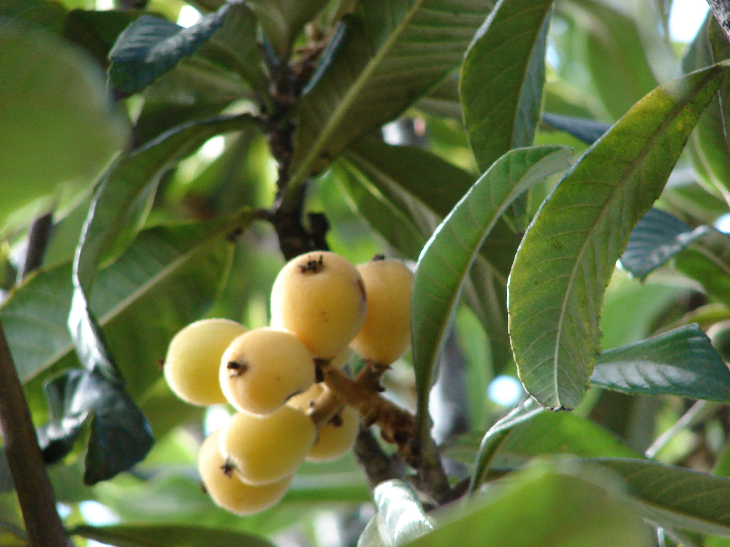 Yeah, it grows here: The Loquat | The Arid Land Homesteaders League