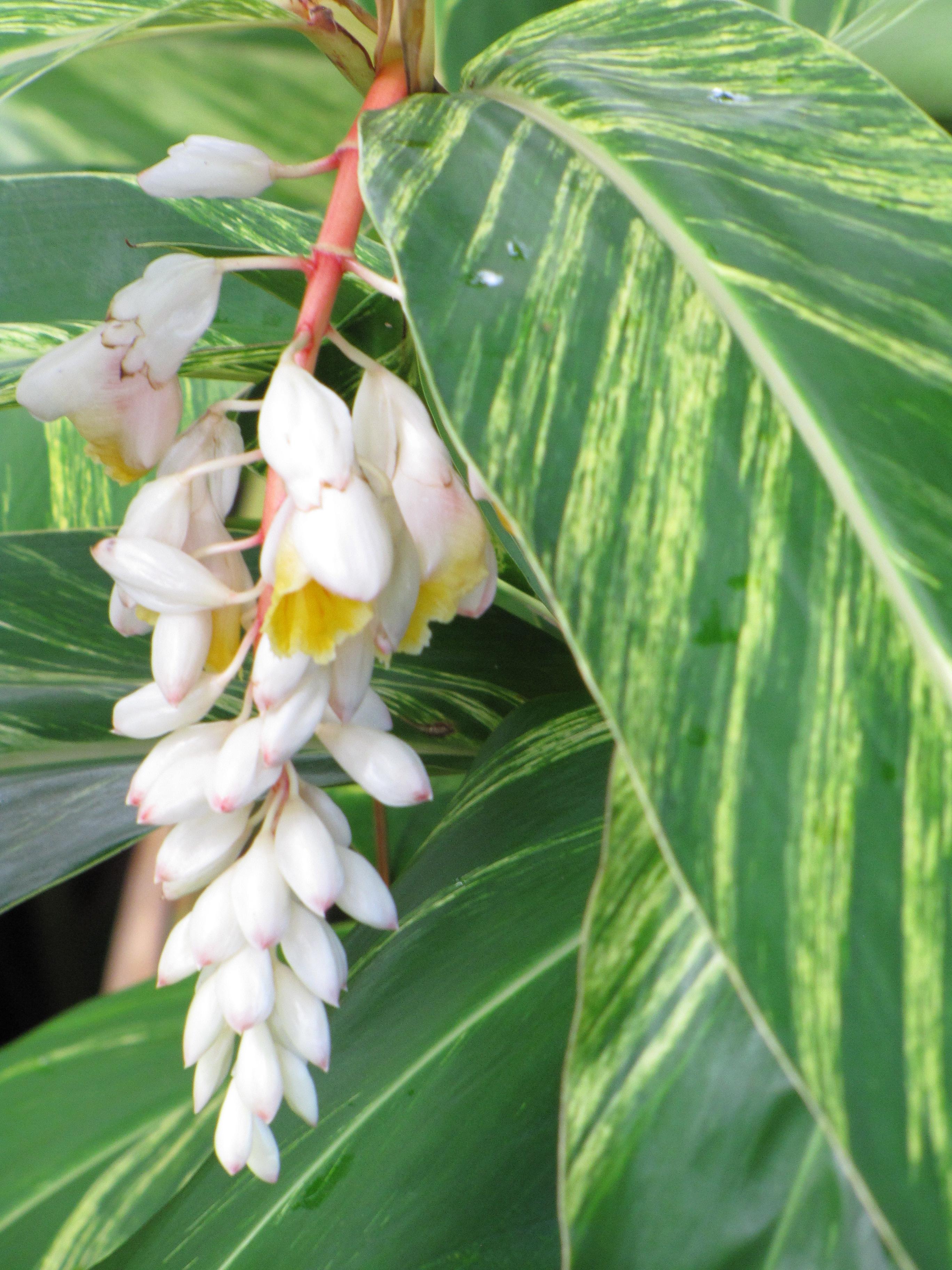 Garden adventures white turmeric curcuma zedoaria - Shell Ginger